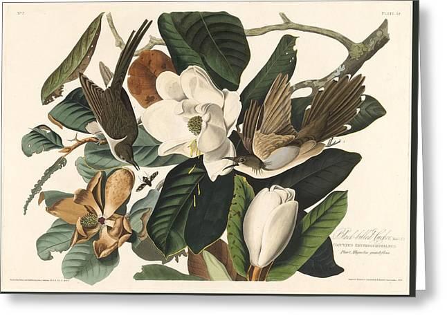 Black-billed Cuckoo Greeting Card by John James Audubon