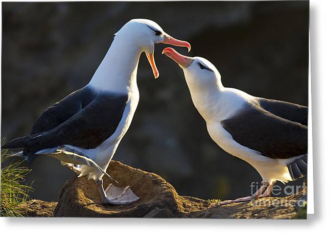 Mud Nest Greeting Cards - Black-browed Albatross Couple Greeting Card by Jean-Louis Klein & Marie-Luce Hubert