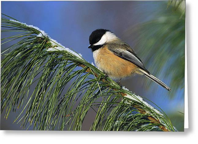 Best Sellers -  - Wildlife Celebration Greeting Cards - Black-Capped Chickadee Greeting Card by Tony Beck