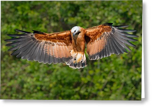 Collar Greeting Cards - Black-collared Hawk Busarellus Greeting Card by Panoramic Images