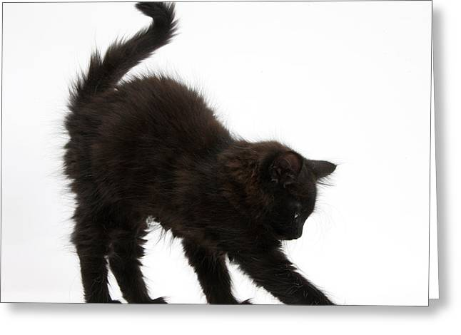 Black Kitten Stretching Greeting Card by Mark Taylor