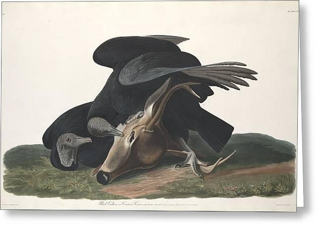 Black Vulture Greeting Card by John James Audubon