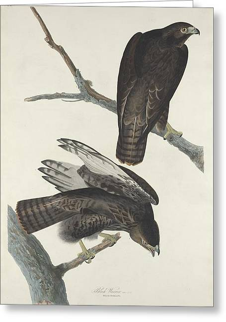 Flying Bird Drawings Greeting Cards - Black Warrior Greeting Card by John James Audubon