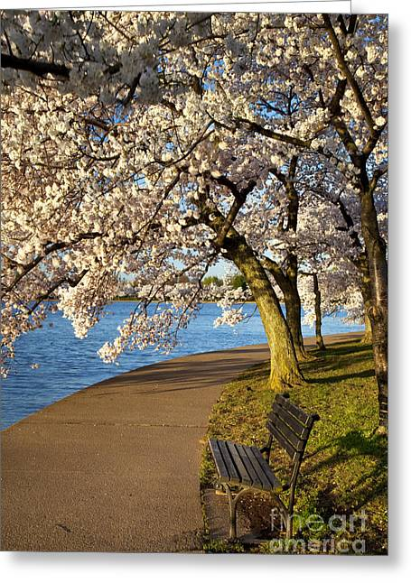 Park Benches Greeting Cards - Blossoming Cherry Trees Greeting Card by Brian Jannsen