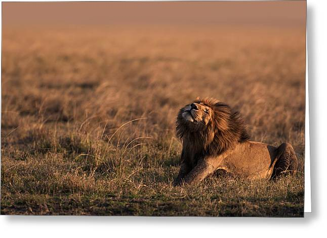 Lions Greeting Cards - Blowing In The Wind Greeting Card by Pekka Jarventaus