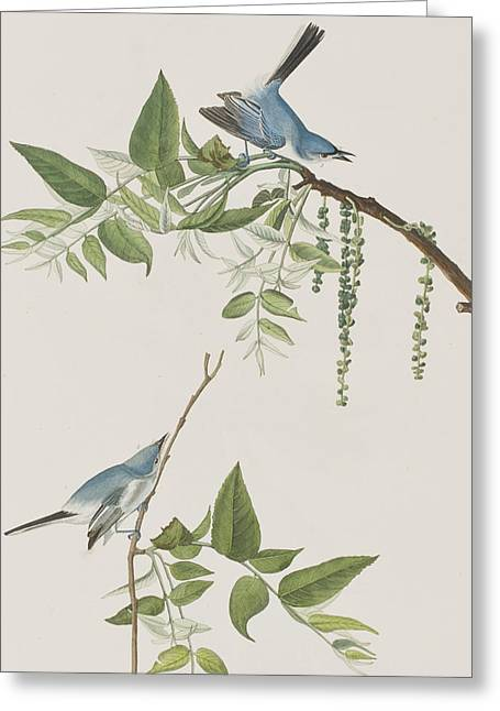 Green Leafs Drawings Greeting Cards - Blue Grey Flycatcher Greeting Card by John James Audubon