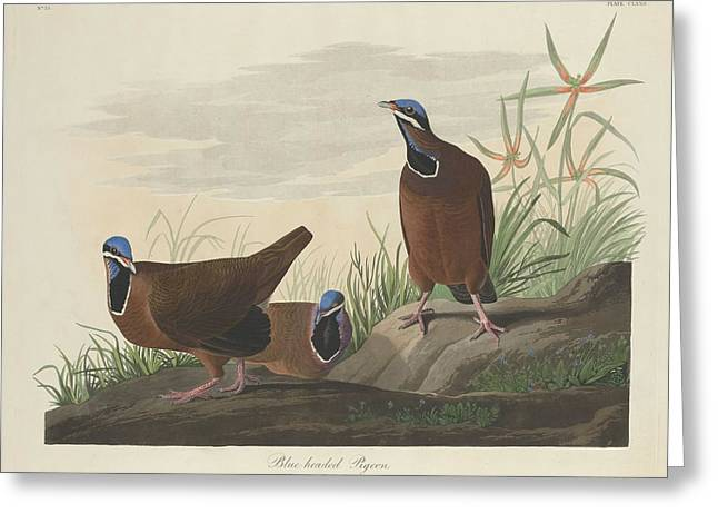 Blue-headed Pigeon Greeting Card by John James Audubon