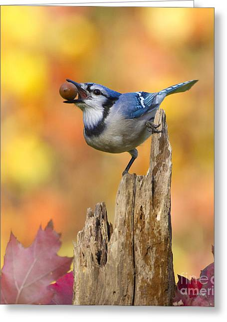 Acorn Greeting Cards - Blue Jay With Acorn Greeting Card by Marie Read