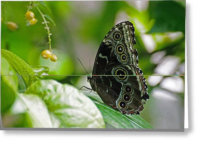 Blue Morpho Butterfly Greeting Card by Cheryl Cencich