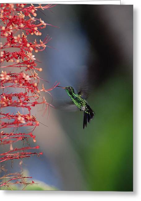 Trochilidae Greeting Cards - Blue-tailed Hummingbird Amazilia Greeting Card by Konrad Wothe