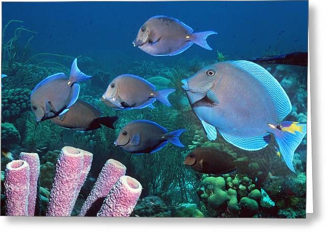Bonaire Greeting Cards - Blue Tang Shoal Greeting Card by Georgette Douwma