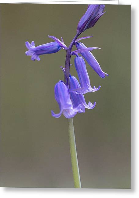 Scripta Greeting Cards - Bluebell Greeting Card by Ian Hufton