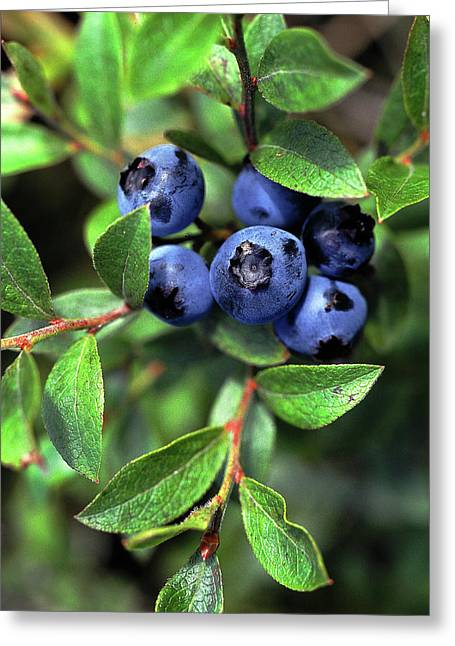 Blueberries Greeting Card by Bill Morgenstern