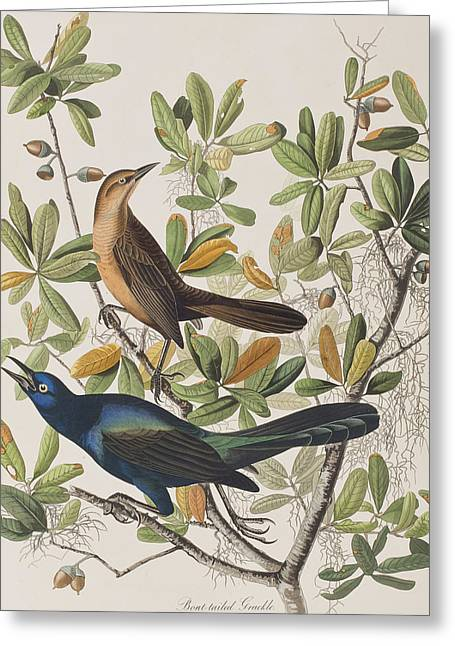 Calligraphy Print Greeting Cards - Boat-tailed Grackle Greeting Card by John James Audubon