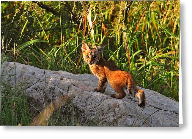 Bobcat Kitten Greeting Cards - Bobcat Kitten #1 Greeting Card by Gary McNutt