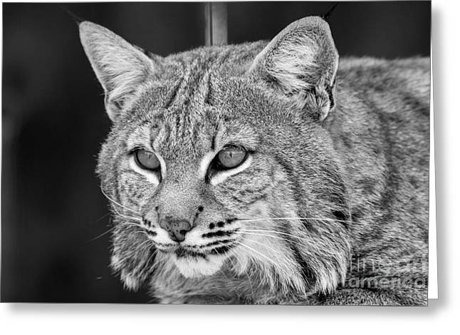 Bobcats Photographs Greeting Cards - Bobcat linx black and white Greeting Card by Michael Bennett