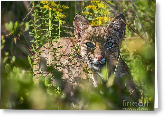 Recently Sold -  - Bobcats Greeting Cards - Bobcat Lynx In Hiding  Greeting Card by Anne Kitzman