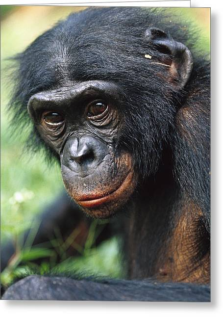 Cyril Greeting Cards - Bonobo Pan Paniscus Portrait Greeting Card by Cyril Ruoso