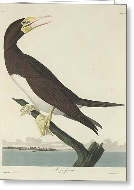Gannet Greeting Cards - Booby Gannet Greeting Card by John James Audubon