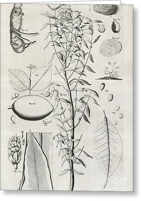 Philosophical Transactions Greeting Cards - Botanical Illustrations, 17th Century Greeting Card by Middle Temple Library