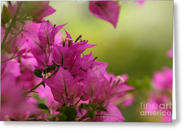 Nyctaginaceae Greeting Cards - Bougainvillea Greeting Card by Svetlana Ledneva-Schukina