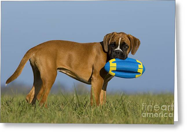 Dog At Play Greeting Cards - Boxer Puppy Greeting Card by Jean-Louis Klein & Marie-Luce Hubert