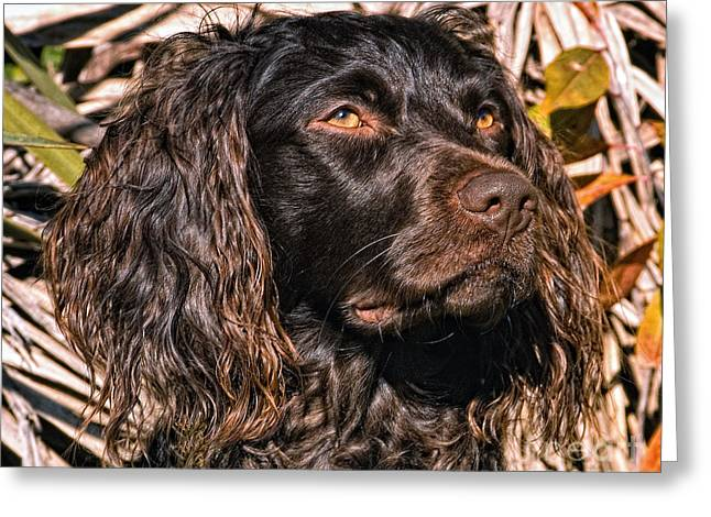 Hunting Bird Greeting Cards - Boykin Spaniel Portrait Greeting Card by Timothy Flanigan
