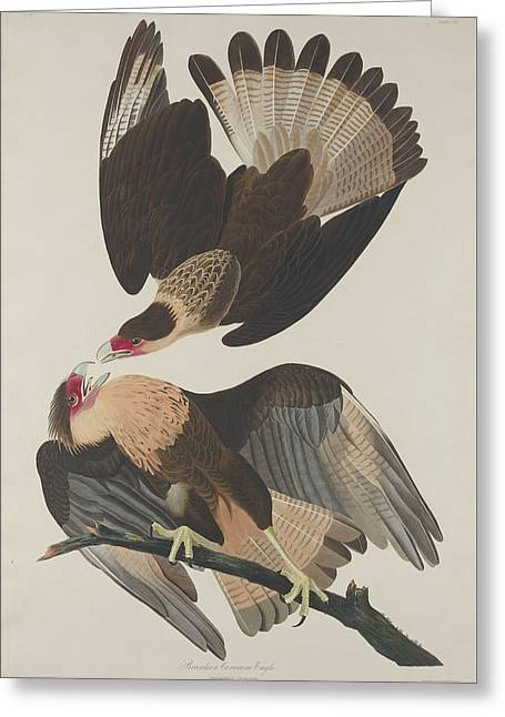Flying Bird Drawings Greeting Cards - Brasilian Caracara Eagle Greeting Card by John James Audubon