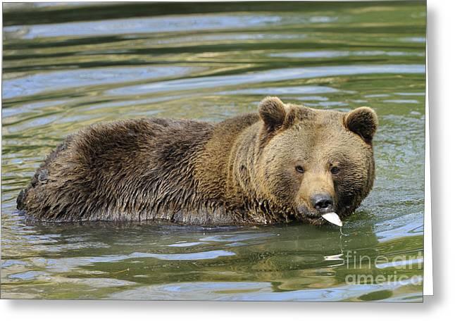 Brown Bear Eating Fish Greeting Card by David & Micha Sheldon