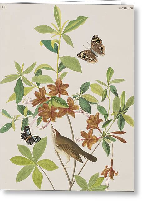 Warblers Greeting Cards - Brown headed Worm eating Warbler Greeting Card by John James Audubon