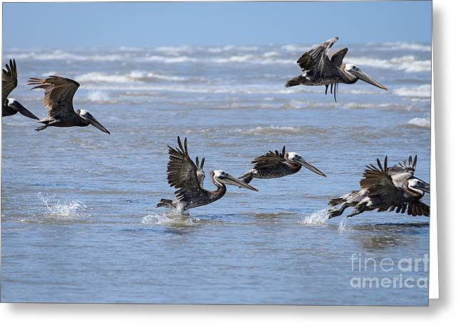Square Format Greeting Cards - Brown Pelicans in Flight Greeting Card by Debra Martz