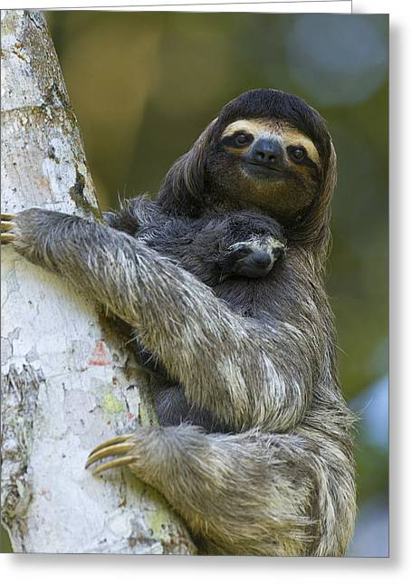 Mp Greeting Cards - Brown-throated Three-toed Sloth Greeting Card by Suzi Eszterhas