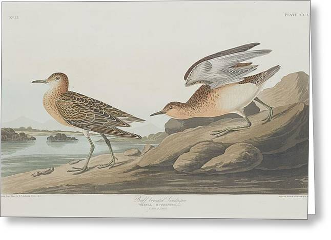 Sandpiper Greeting Cards - Buff-Breasted Sandpiper Greeting Card by John James Audubon