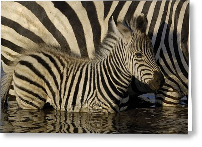 Two Animals Greeting Cards - Burchells Zebra Equus Burchellii Foal Greeting Card by Pete Oxford