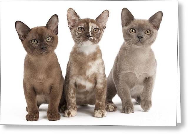 Tortie Greeting Cards - Burmese Cats Greeting Card by Jean-Michel Labat