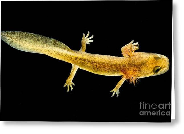 California Giant Salamander Larva Greeting Card by Dant� Fenolio