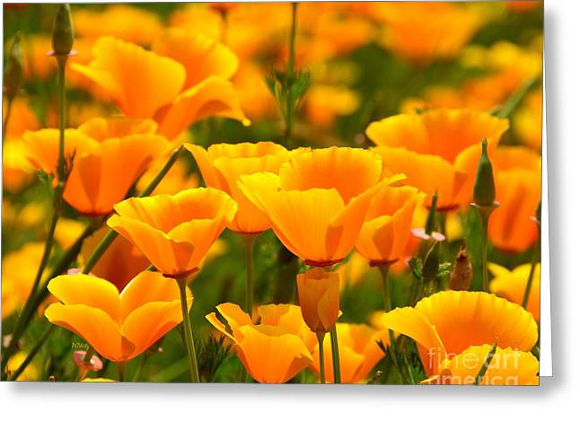 Purchase Greeting Cards - California Poppies Greeting Card by Patrick Witz