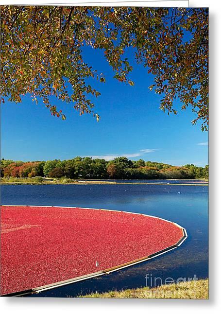 Cape Cod Cranberry Bog Greeting Card by Matt Suess