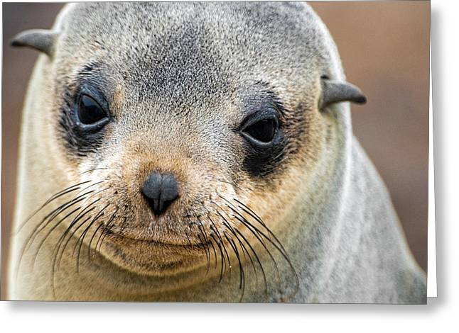 Aquatic Greeting Cards - Cape Fur Seal Arctocephalus Pusillus Greeting Card by Panoramic Images