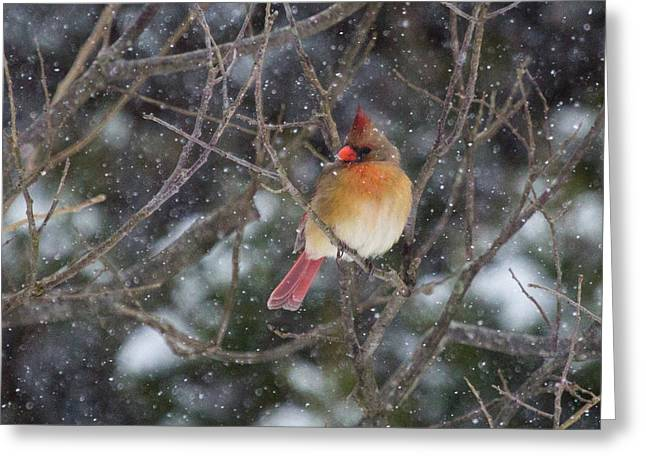 Cardinal In The Snow Greeting Card by Flying Turkey