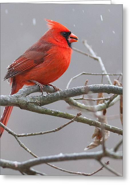 Male Cardinals In Snow Greeting Cards - Cardinal Greeting Card by Melinda Fawver