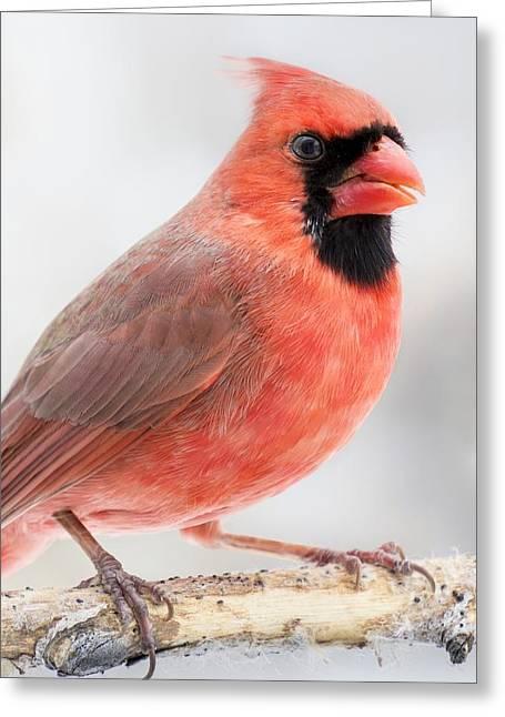 Cardinal Portrait Greeting Card by Jim Hughes