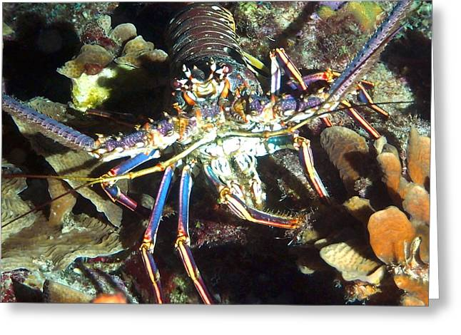 Snorkel Greeting Cards - Caribbean Reef Lobster Greeting Card by Amy McDaniel