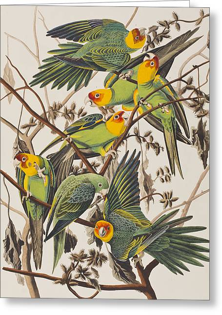 Wild Parrots Greeting Cards - Carolina Parrot Greeting Card by John James Audubon