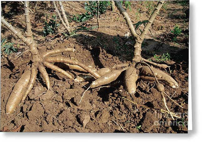 Starchy Greeting Cards - Cassava Roots Greeting Card by Inga Spence