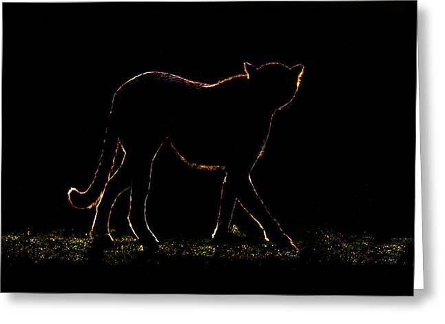 Backlit Greeting Cards - Cheetah Acinonyx Jubatus Walking Greeting Card by Panoramic Images
