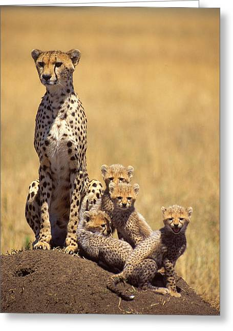 Leopard Hunting Greeting Cards - Cheetah family Greeting Card by Johan Elzenga