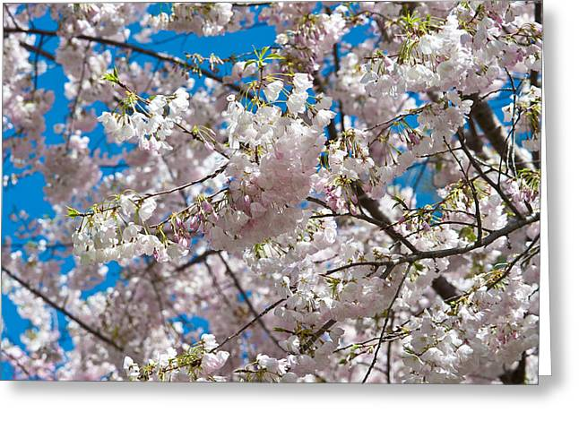 Cherries Greeting Cards - Cherry Blossom Greeting Card by Sebastian Musial