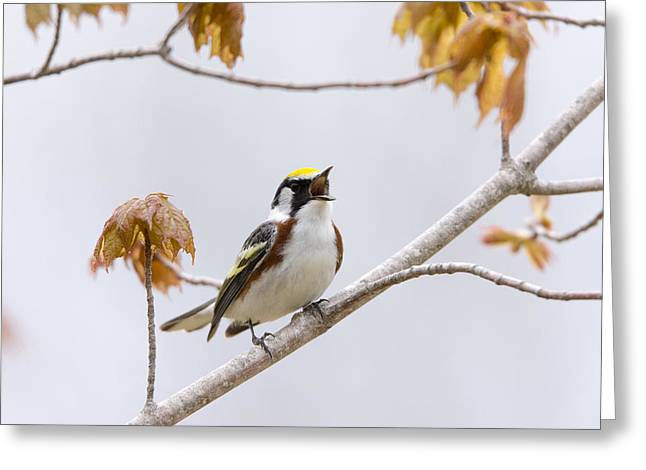 Wildlife Celebration Greeting Cards - Chestnut-sided Warbler at the Top of His Lungs Greeting Card by Birds Only