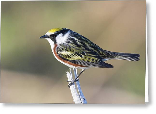 Wildlife Celebration Greeting Cards - Chestnut-sided Warbler in Spring Greeting Card by Birds Only